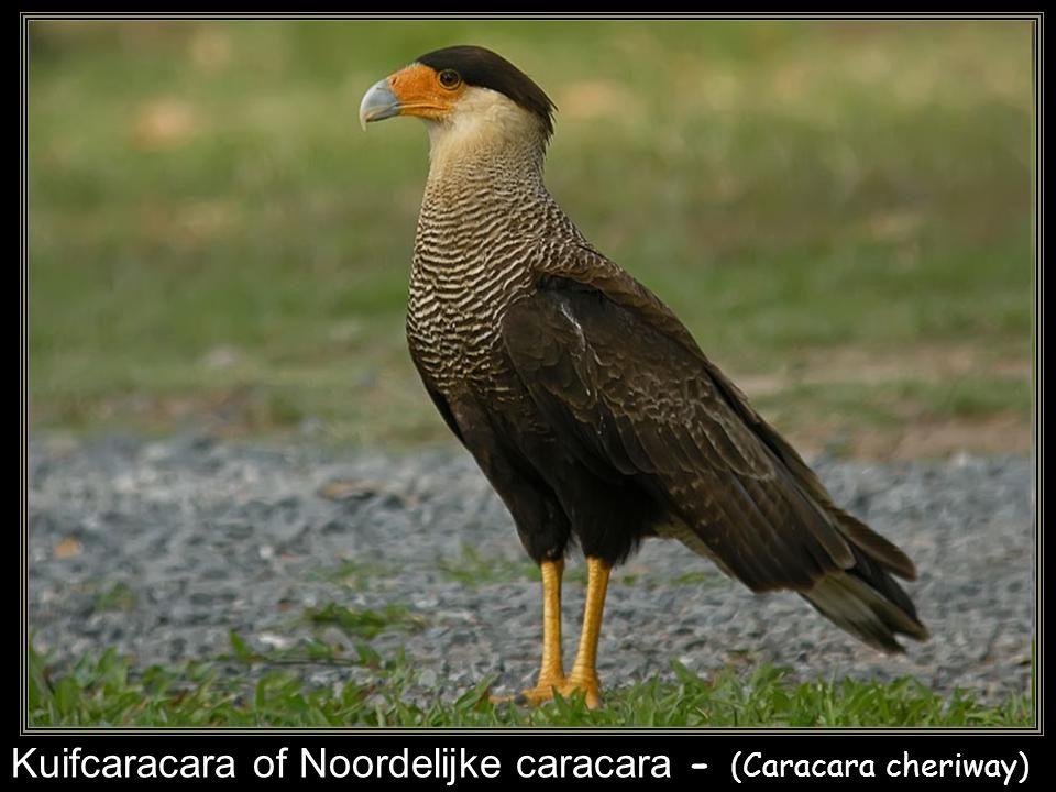 Kuifcaracara of Noordelijke caracara - (Caracara cheriway)