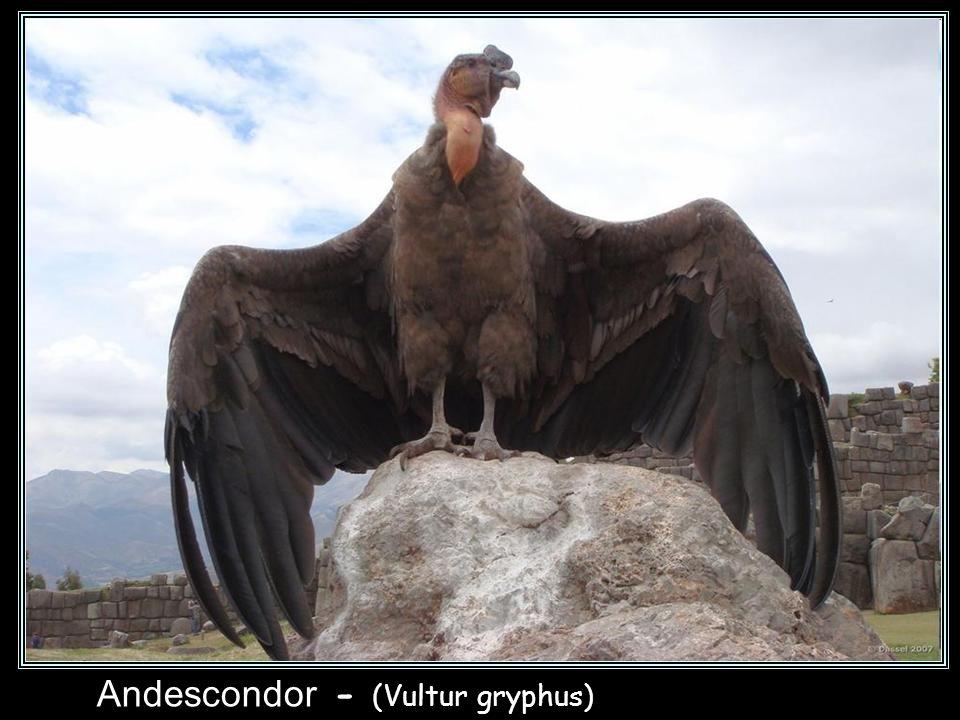 Andescondor - (Vultur gryphus) Kondor wielki