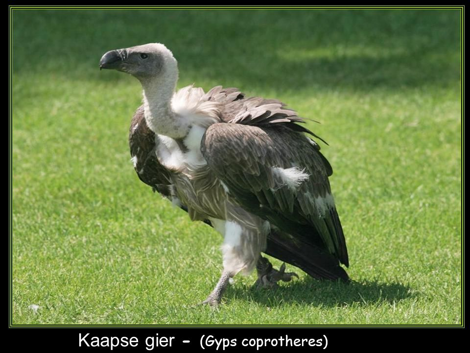 Kaapse gier - (Gyps coprotheres)