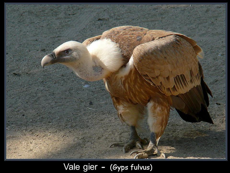 Vale gier - (Gyps fulvus)