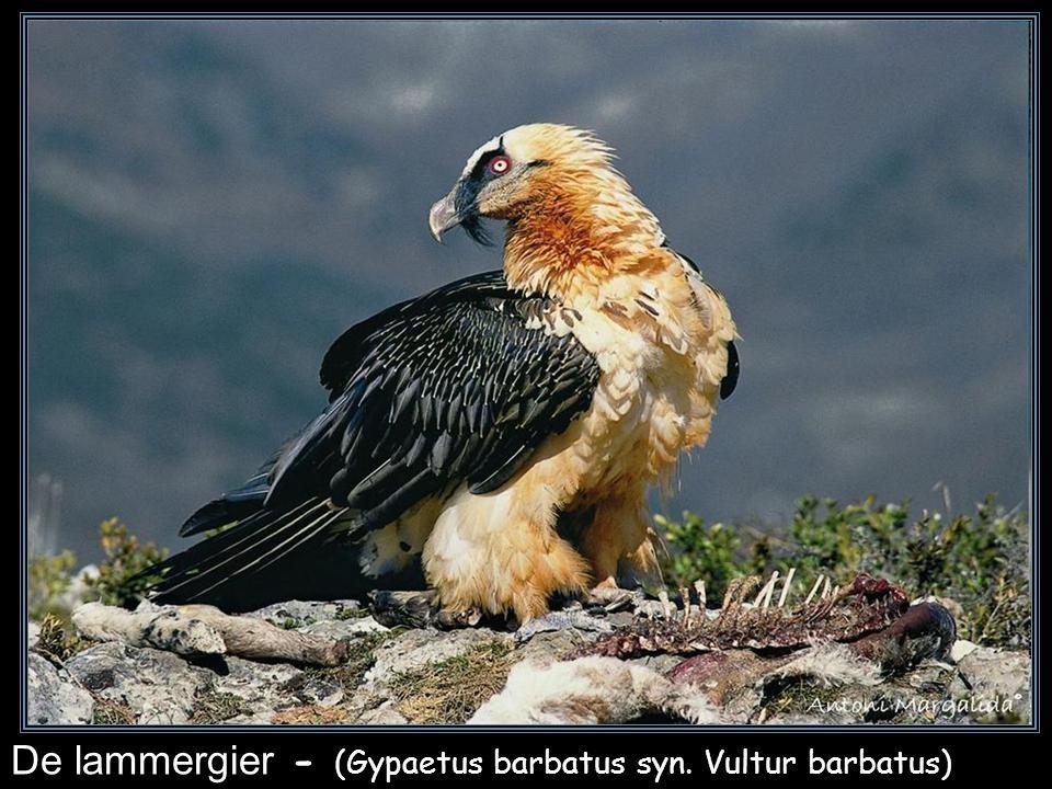 De lammergier - (Gypaetus barbatus syn. Vultur barbatus)