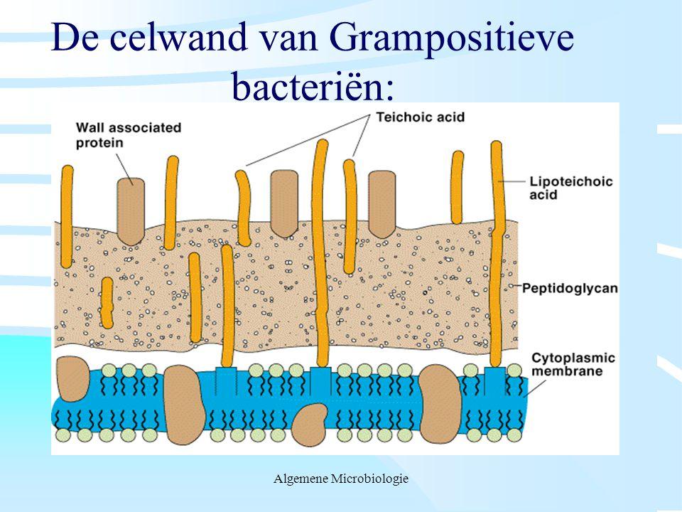 De celwand van Grampositieve bacteriën: