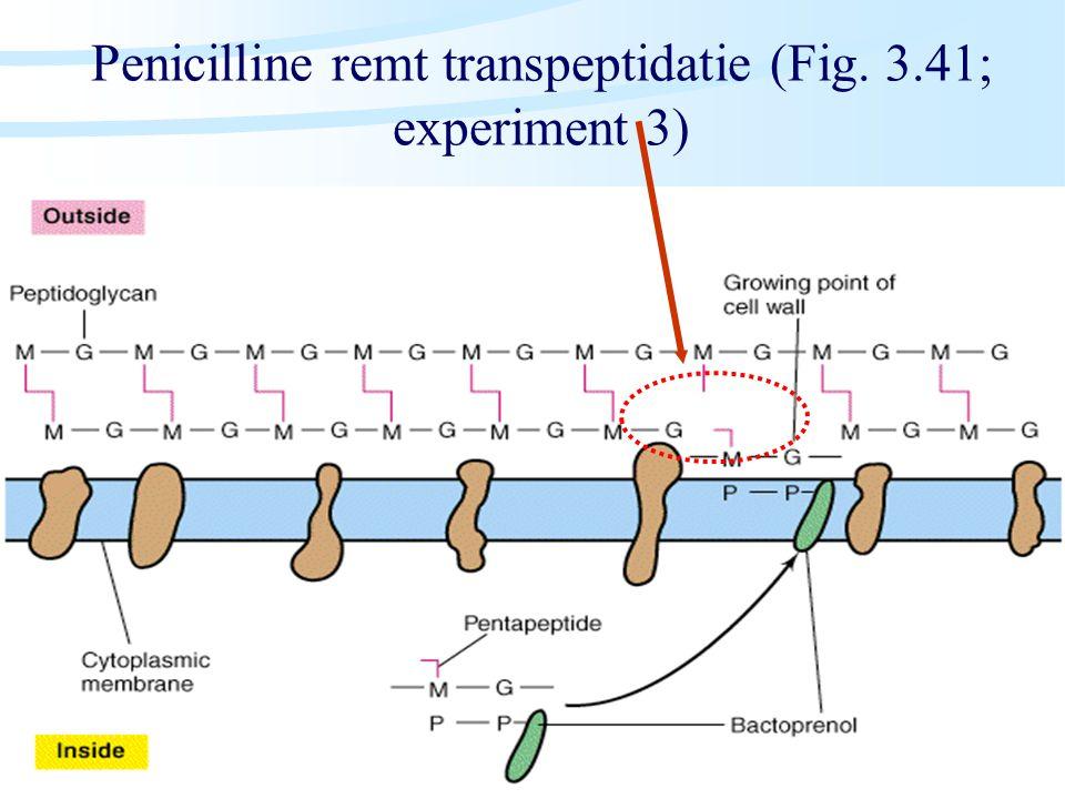 Penicilline remt transpeptidatie (Fig. 3.41; experiment 3)