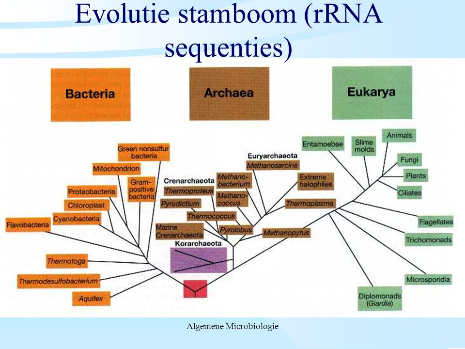 Evolutie stamboom (rRNA sequenties)