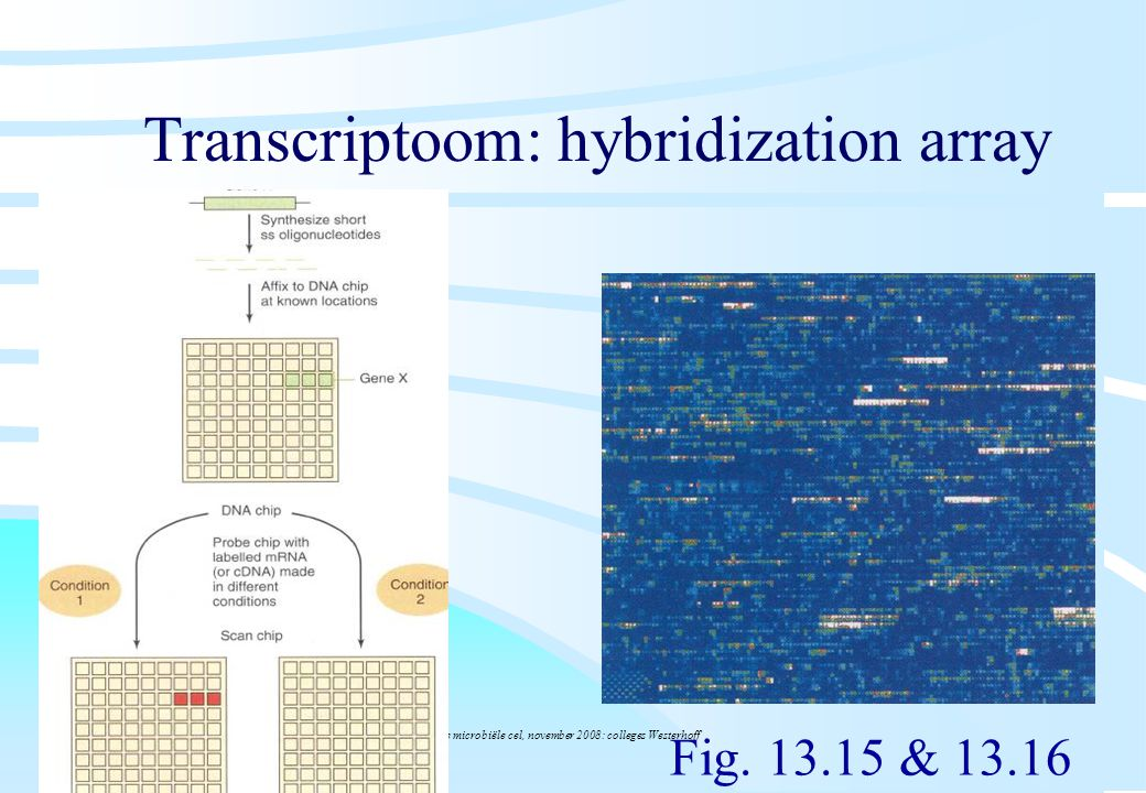 Transcriptoom: hybridization array