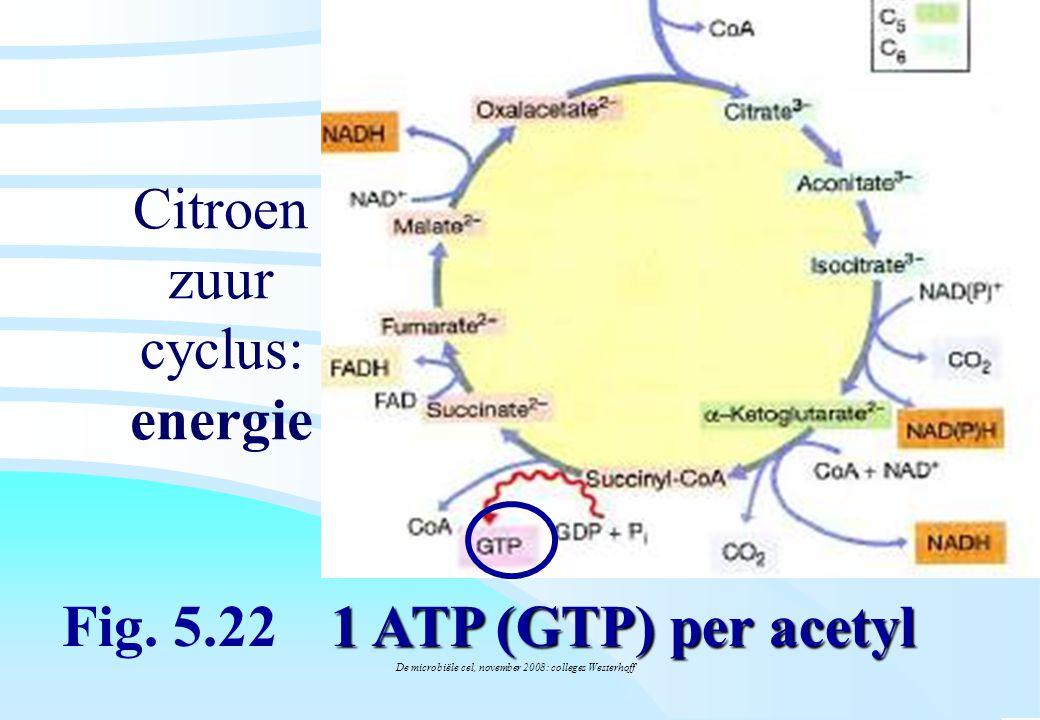 Citroen zuur cyclus: energie