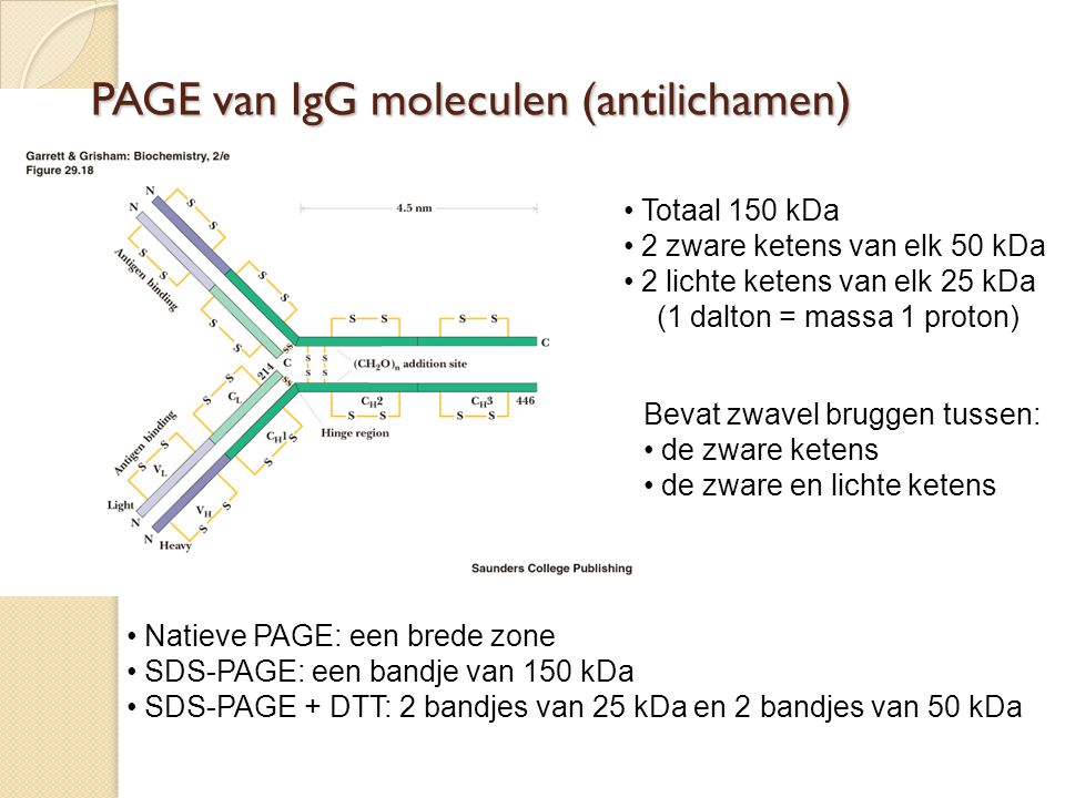 PAGE van IgG moleculen (antilichamen)