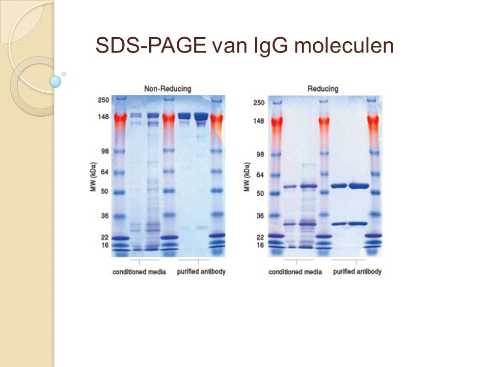 SDS-PAGE van IgG moleculen
