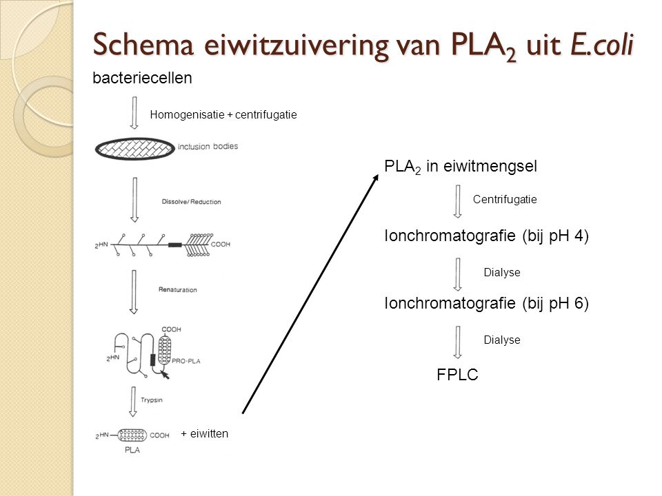 Schema eiwitzuivering van PLA2 uit E.coli