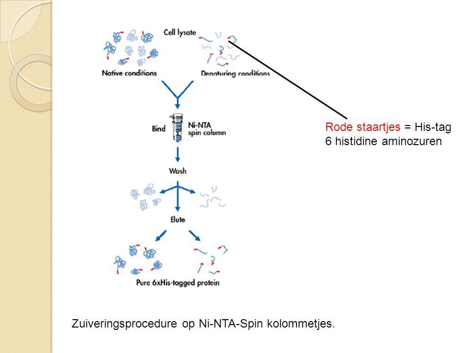 Rode staartjes = His-tag 6 histidine aminozuren