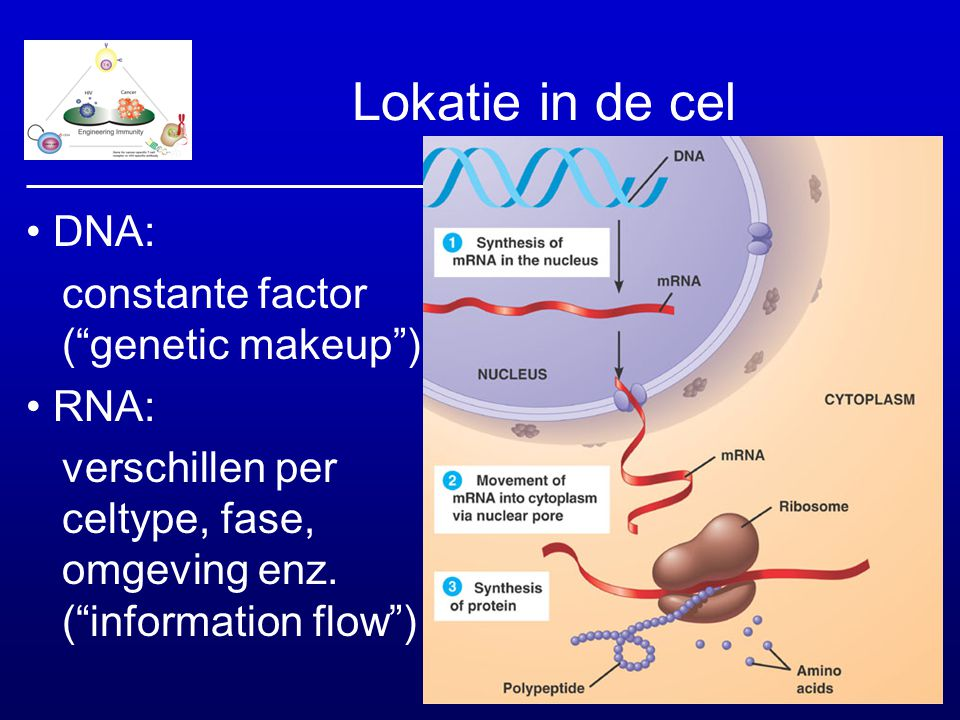 Lokatie in de cel • DNA: constante factor ( genetic makeup ) • RNA: