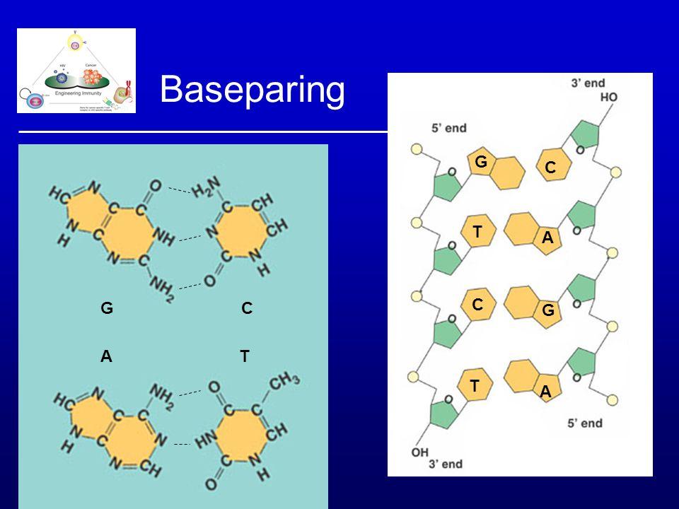 Baseparing G C C G C G A T T A Antiparalel