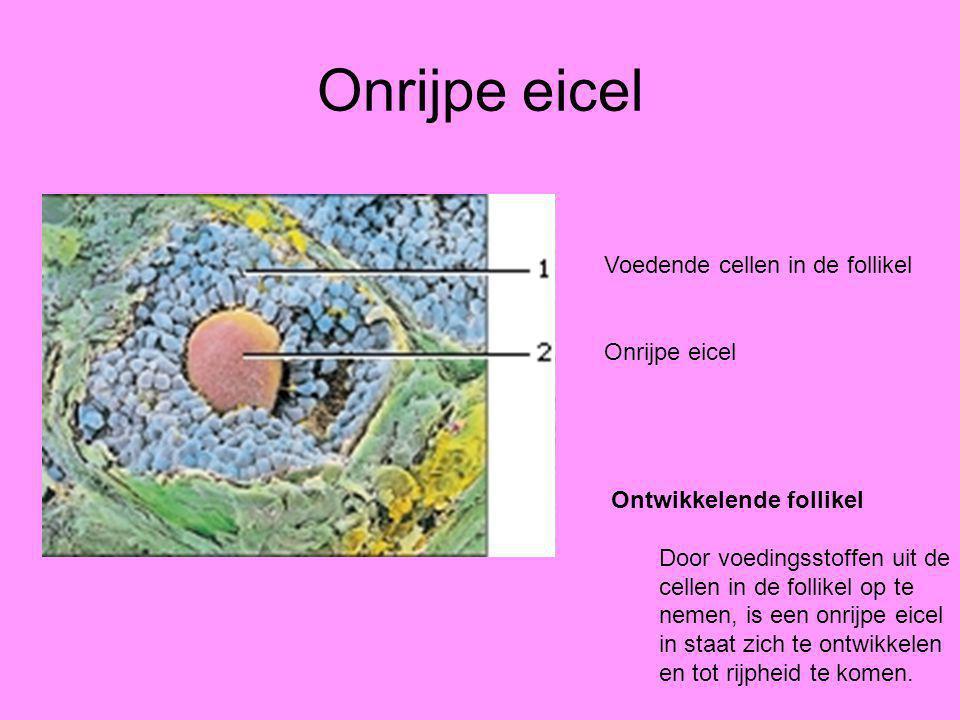 Onrijpe eicel Voedende cellen in de follikel Onrijpe eicel