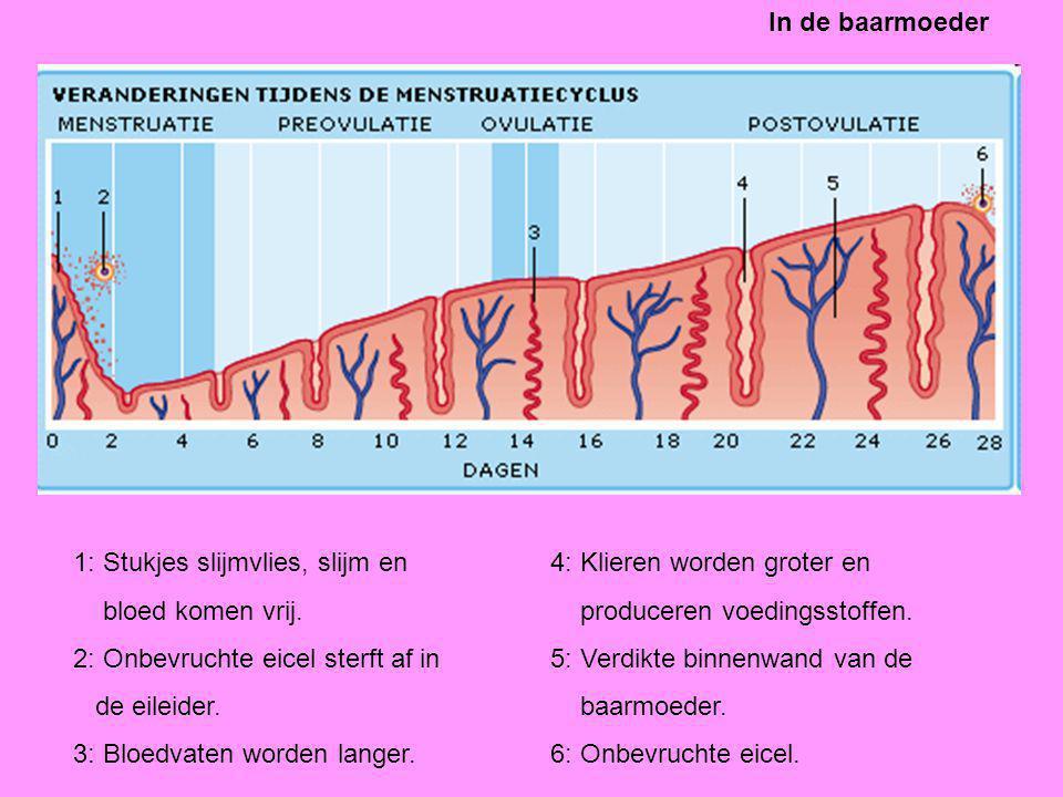In de baarmoeder 1: Stukjes slijmvlies, slijm en. bloed komen vrij. 2: Onbevruchte eicel sterft af in.