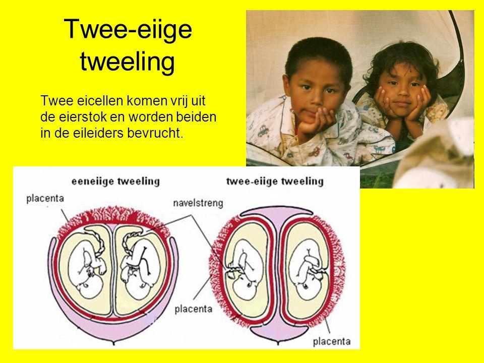Twee-eiige tweeling Twee eicellen komen vrij uit de eierstok en worden beiden in de eileiders bevrucht.