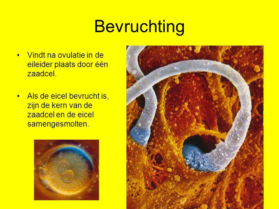 Bevruchting Vindt na ovulatie in de eileider plaats door één zaadcel.