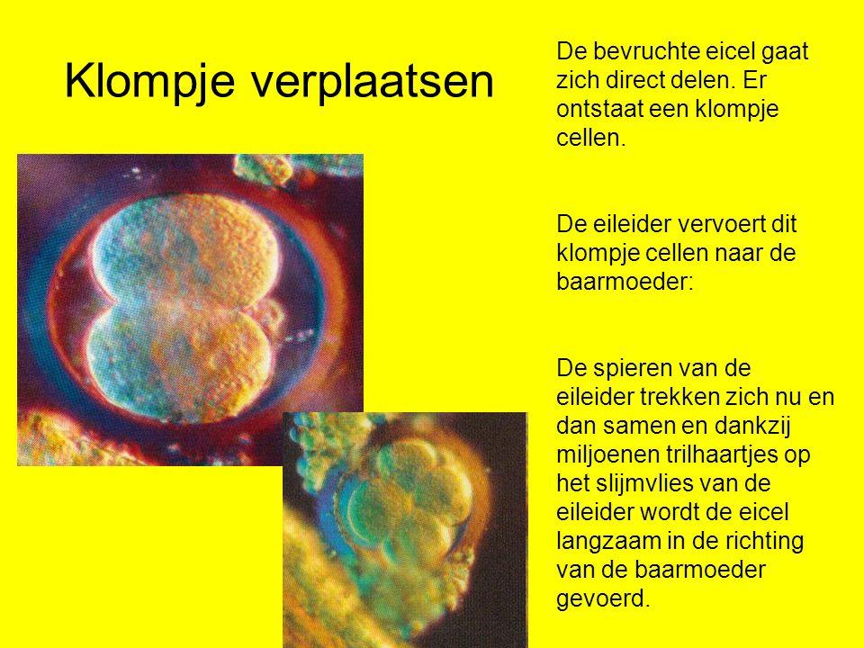 Klompje verplaatsen De bevruchte eicel gaat zich direct delen. Er ontstaat een klompje cellen.