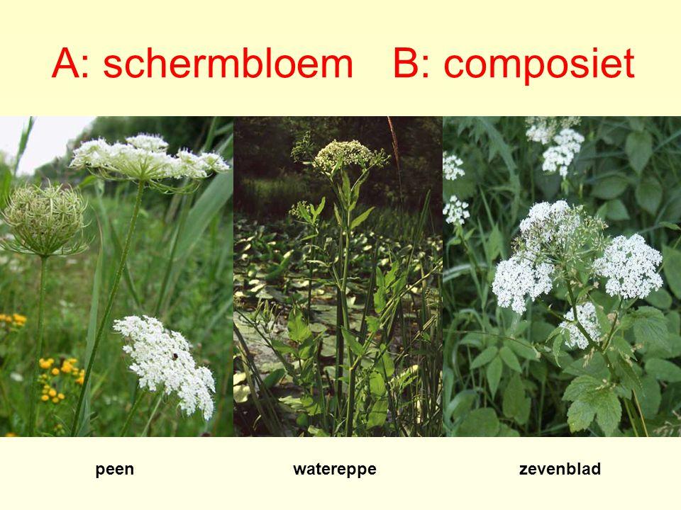 A: schermbloem B: composiet