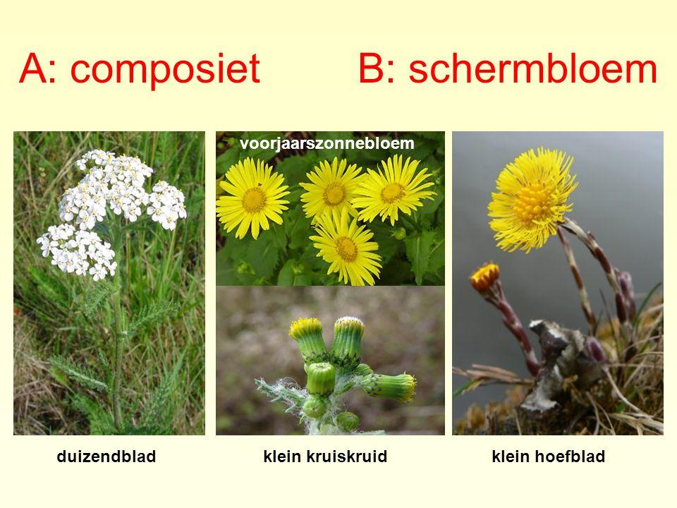 A: composiet B: schermbloem