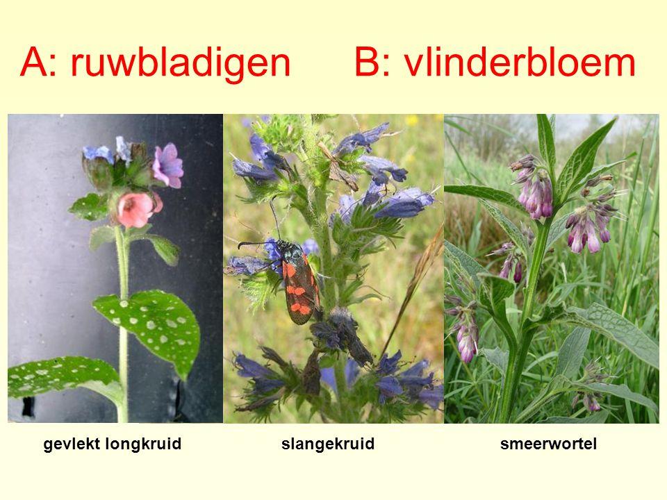 A: ruwbladigen B: vlinderbloem