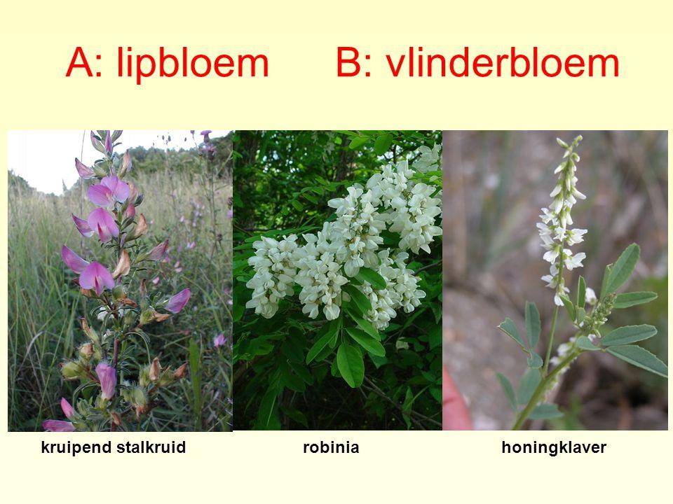 A: lipbloem B: vlinderbloem