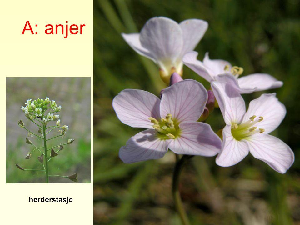 A: anjer B: kruisbloem herderstasje look-zonder-look pinksterbloem