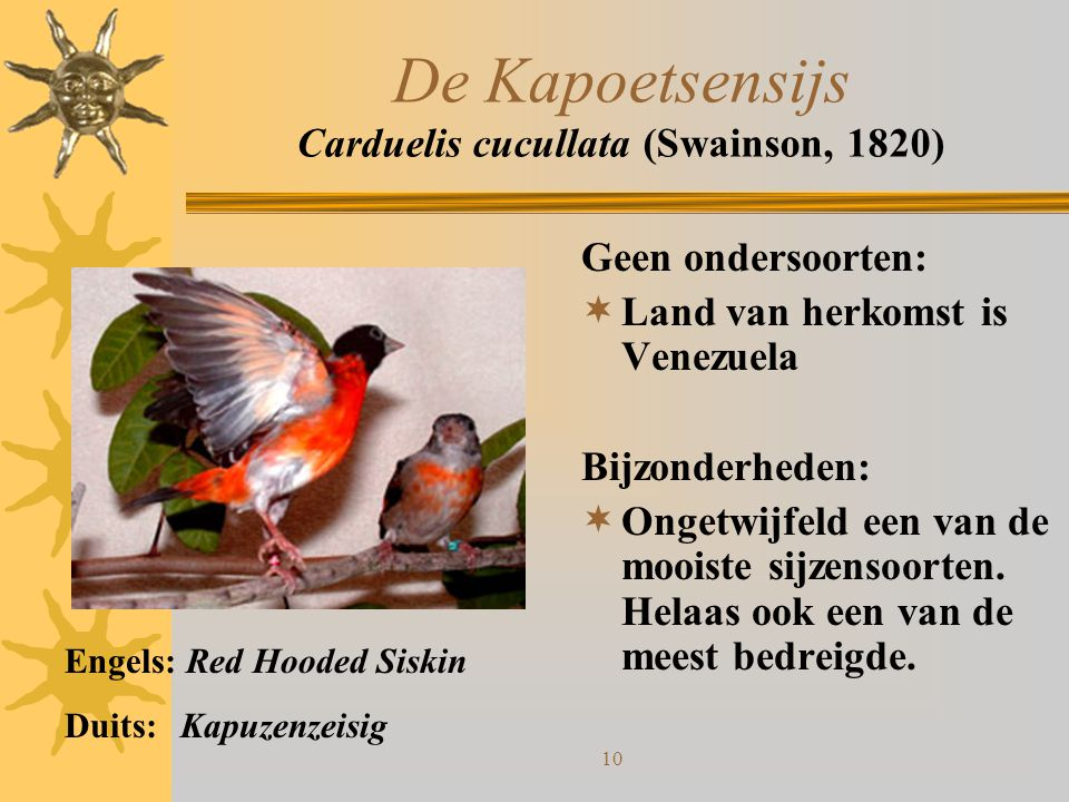 De Kapoetsensijs Carduelis cucullata (Swainson, 1820)