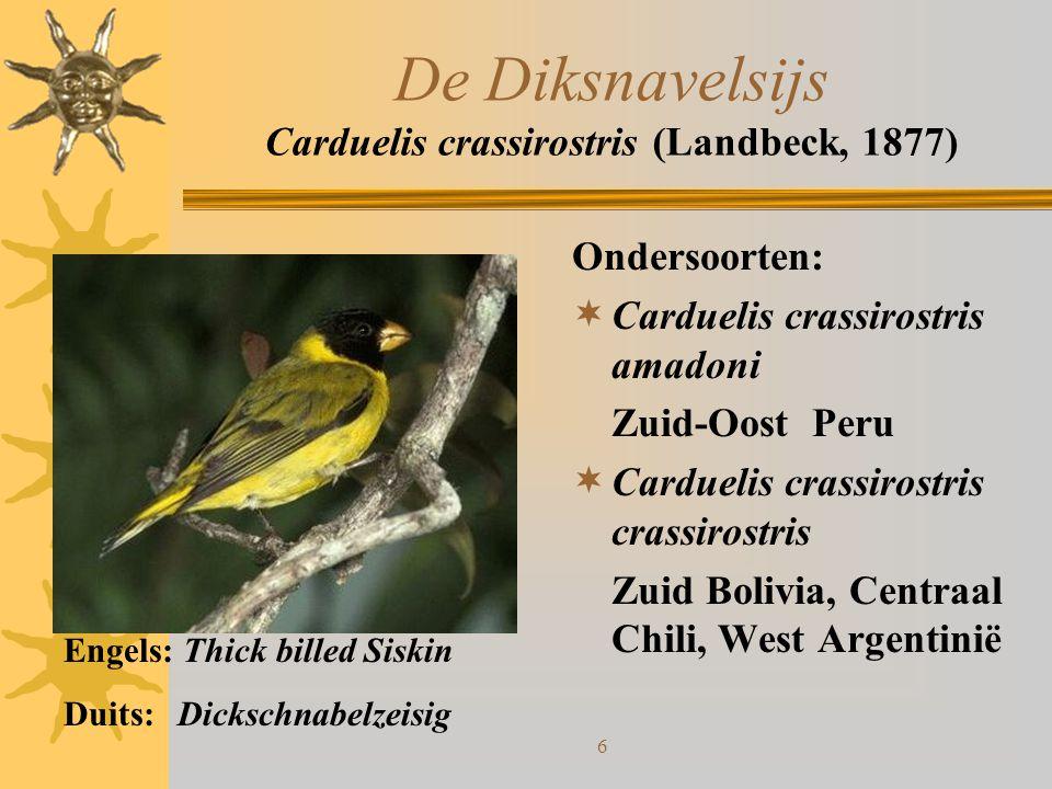 De Diksnavelsijs Carduelis crassirostris (Landbeck, 1877)