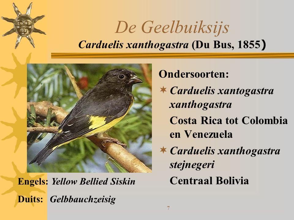 De Geelbuiksijs Carduelis xanthogastra (Du Bus, 1855)