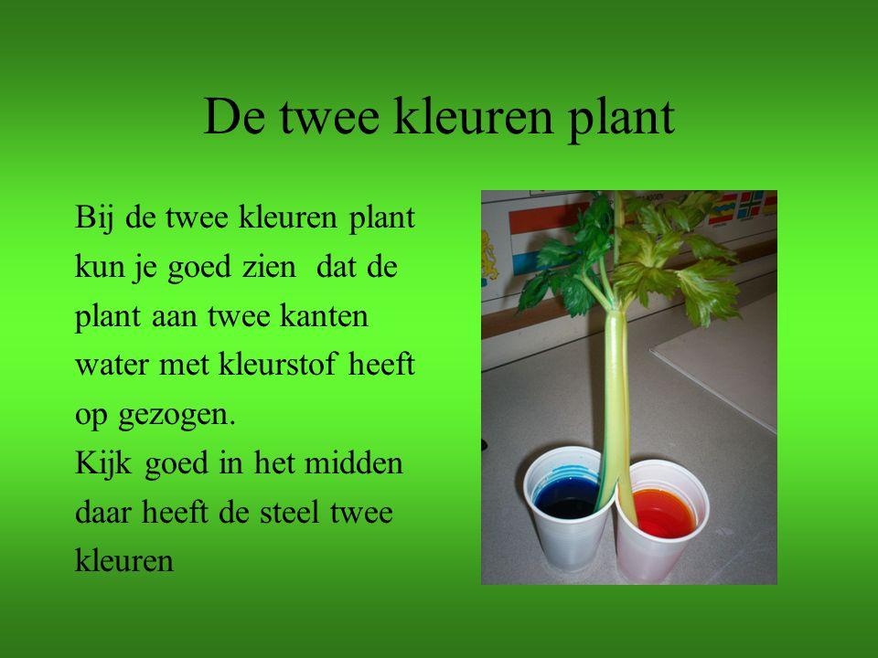 De twee kleuren plant Bij de twee kleuren plant