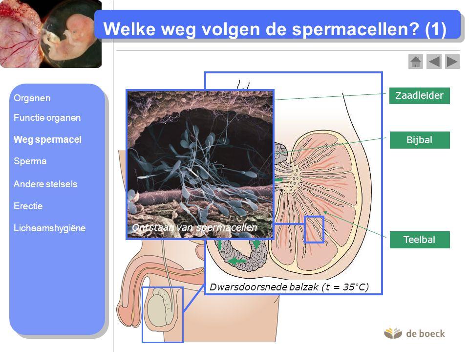 Welke weg volgen de spermacellen (1)