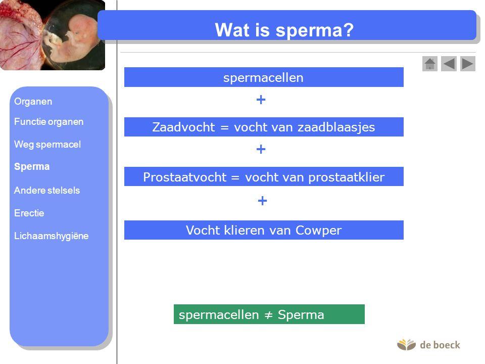 Wat is sperma + + + spermacellen Zaadvocht = vocht van zaadblaasjes