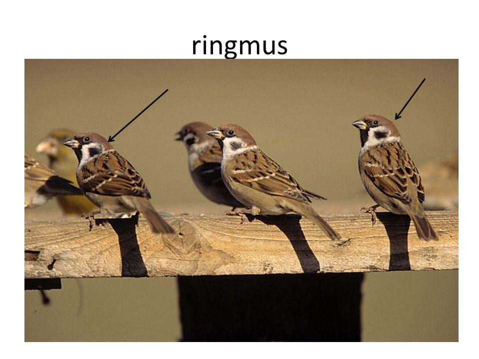 ringmus