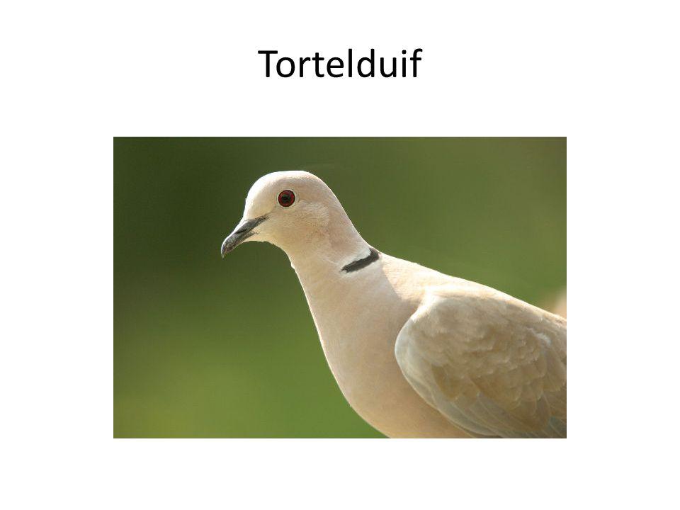 Tortelduif