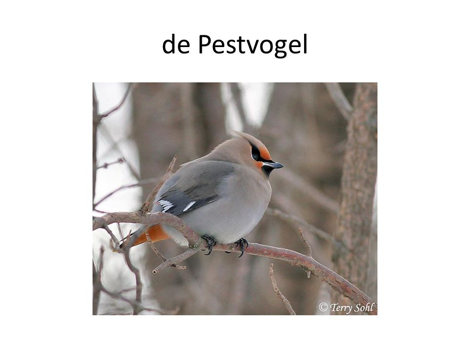 de Pestvogel