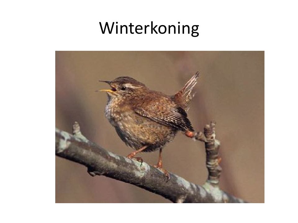 Winterkoning