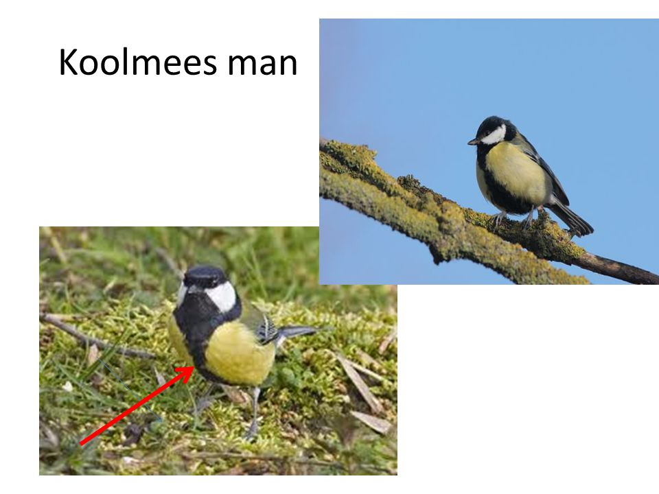Koolmees man