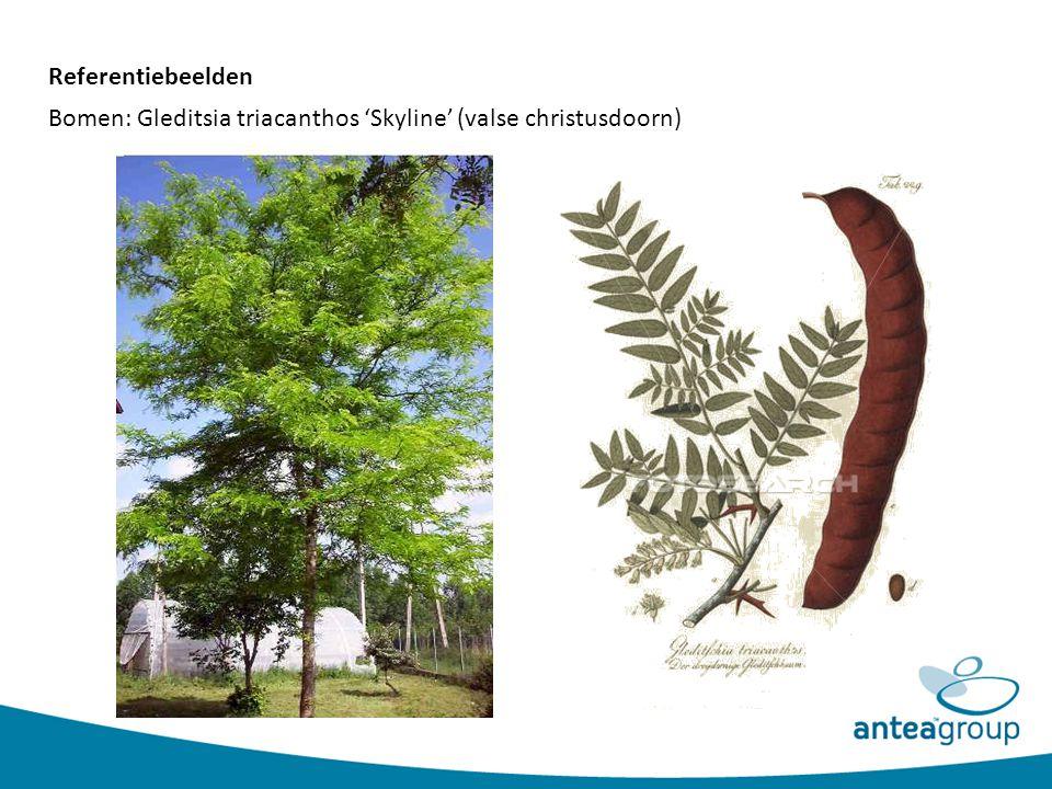 Referentiebeelden Bomen: Gleditsia triacanthos 'Skyline' (valse christusdoorn)