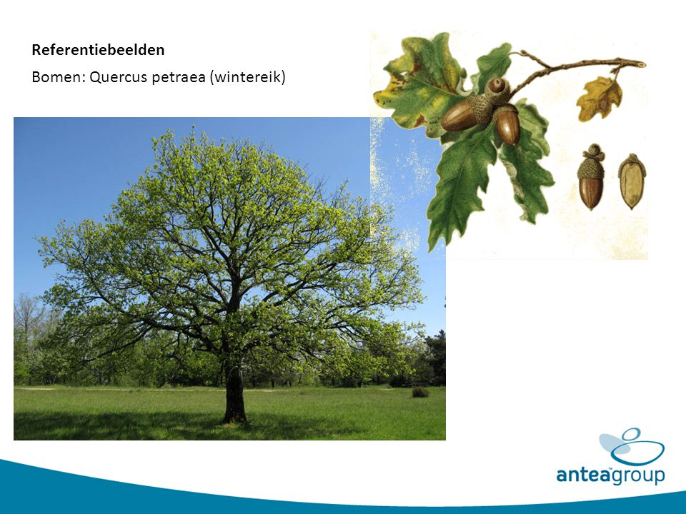 Referentiebeelden Bomen: Quercus petraea (wintereik)