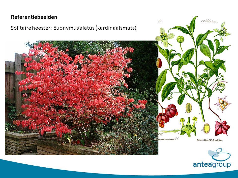 Referentiebeelden Solitaire heester: Euonymus alatus (kardinaalsmuts)