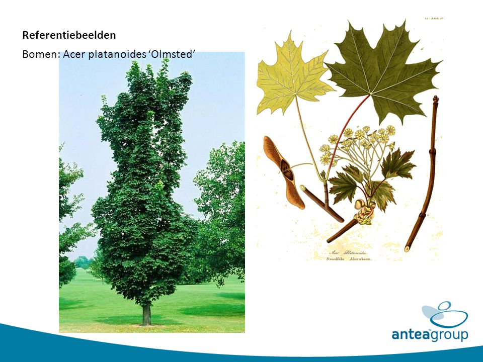 Referentiebeelden Bomen: Acer platanoides 'Olmsted'