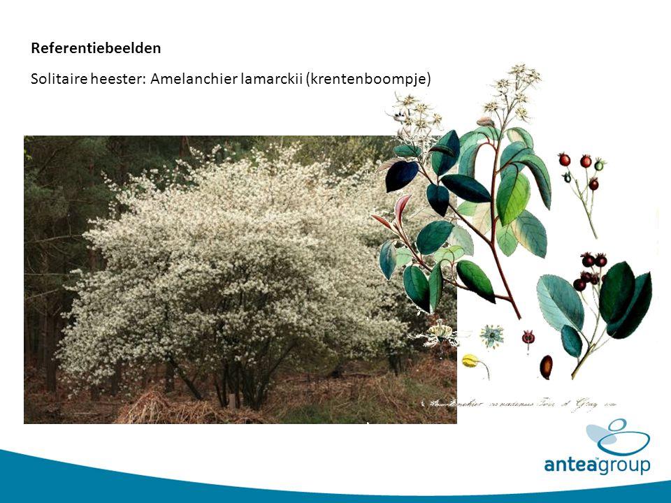 Referentiebeelden Solitaire heester: Amelanchier lamarckii (krentenboompje)