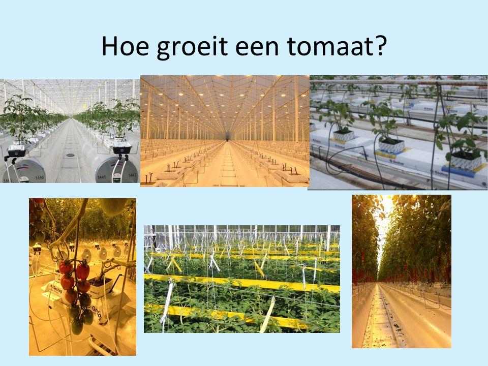 Hoe groeit een tomaat
