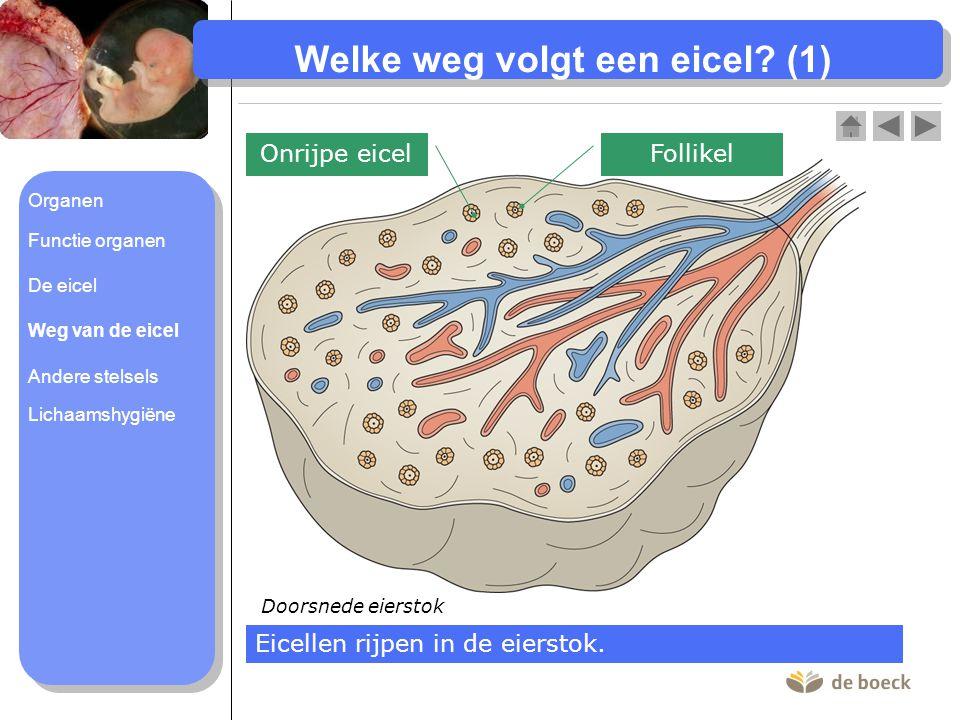 Welke weg volgt een eicel (1)