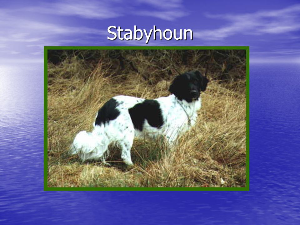 Stabyhoun