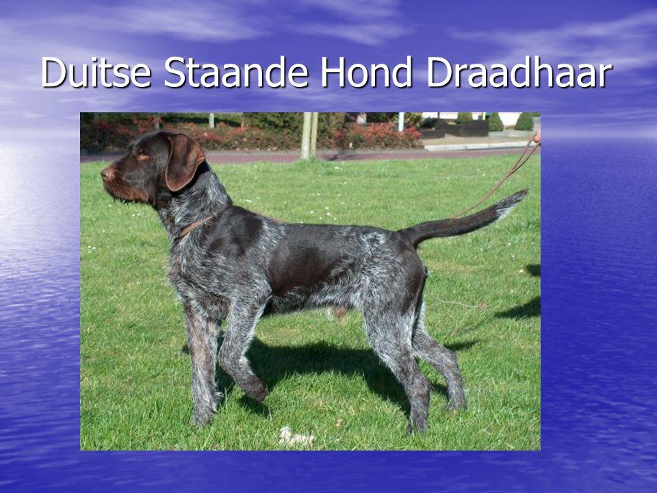 Duitse Staande Hond Draadhaar