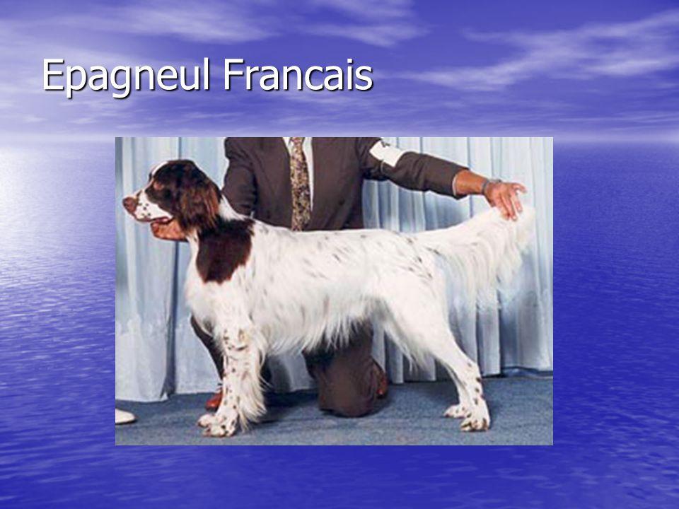 Epagneul Francais