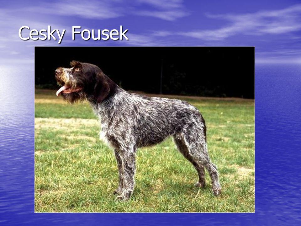Cesky Fousek