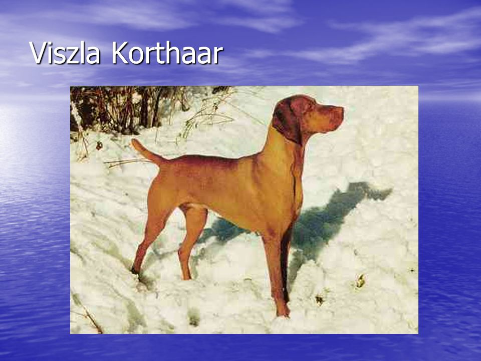 Viszla Korthaar