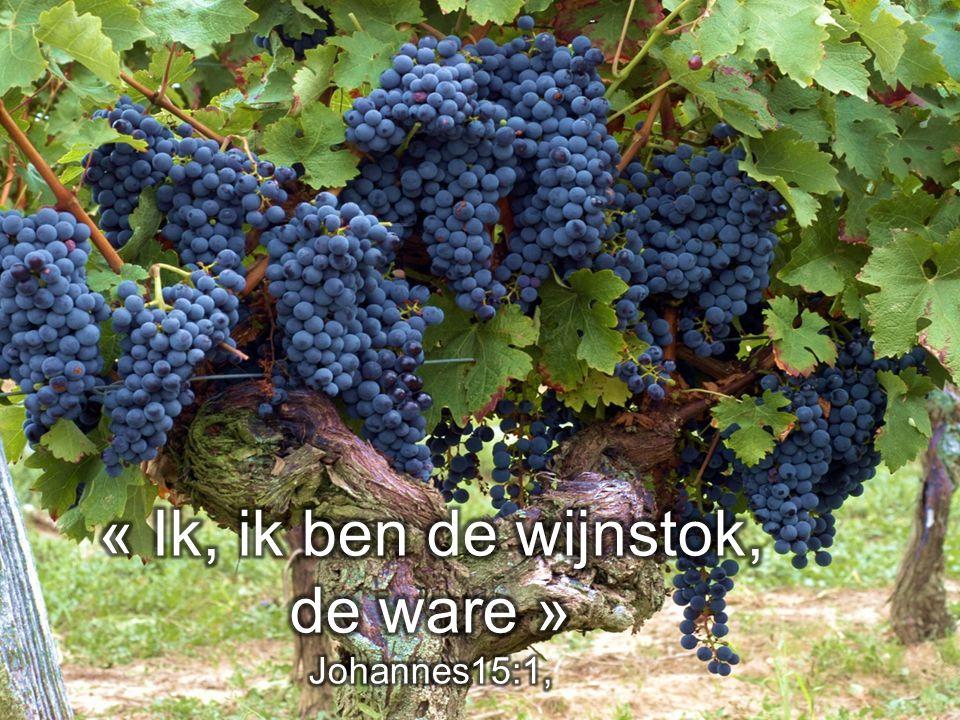 « Ik, ik ben de wijnstok, de ware »